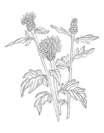 Vector Illustration contour wild Flower with leaves