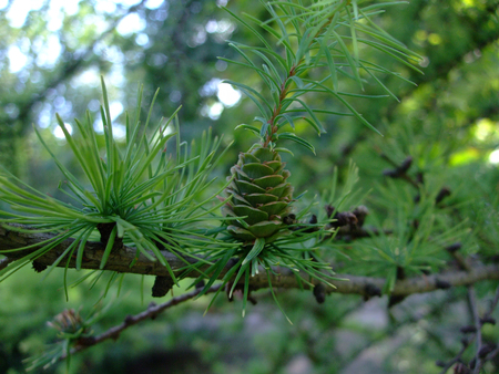 Green cone grow on branch among needles on fir tree Imagens