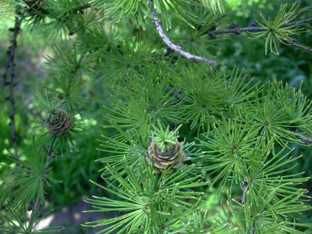 Young Green cone grow on branch among needles on fir tree Imagens