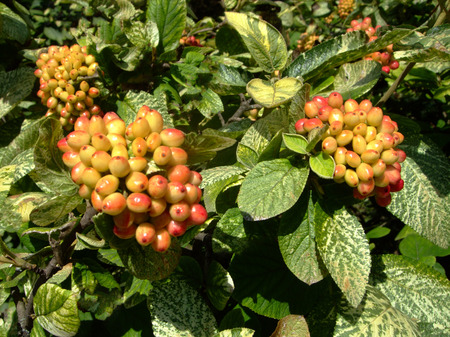 Red berries Aronia in red and green on the shrub in summer