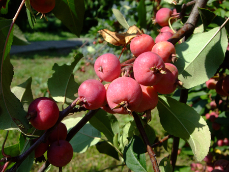 Little Red apples grow on branch among leaves
