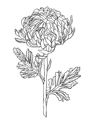 Decorative vector illustration chrysanthemum flower on white background