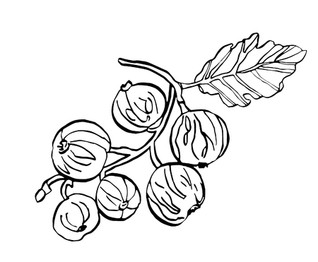 Decorative vector illustration branch of currant berries with leave on white background Çizim
