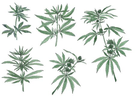 Decorative set of green branch of big hemp and leaves on white background