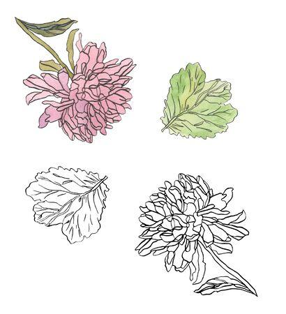Decorative illustration ink drawing pink chrysanthemum flower Imagens