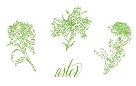 Set of Contour illustration Flower Asters with leaves