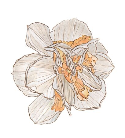 Watercolor pencil and ink drawing Decorative narcissus flower on white background Stock Photo