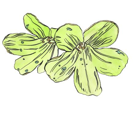 Watercolor ink illustration of lime exotic flower Archivio Fotografico