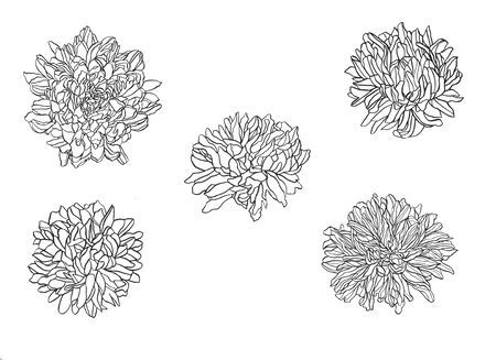 Summer, autumn flowers of chrysanthemum, field beautiful plant, hand draws with ink, buds from different angles with ink