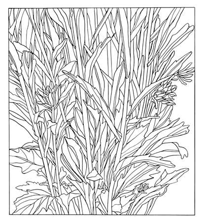 Ink hand Drawing illustration of aster flower with leaves