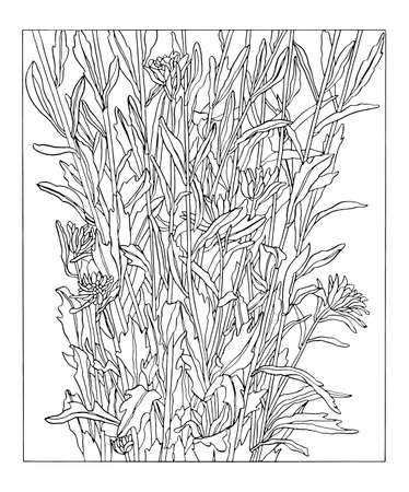 Ink Drawing illustration of aster flowers with leaves