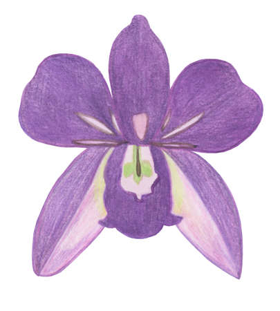 Orchid phalaenopsis watercolor illustration. Beautifull purple exotic flower in a full bloom with green buds