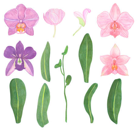 Orchid phalaenopsis set watercolor illustration. Beautifull exotic flower in a full bloom with green buds