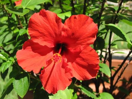 androecium: Red Hibiscus