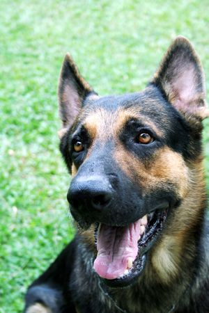 shephard: a handsome German Shepherd Stock Photo