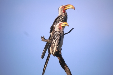 Southern Yellow-billed Hornbill photo
