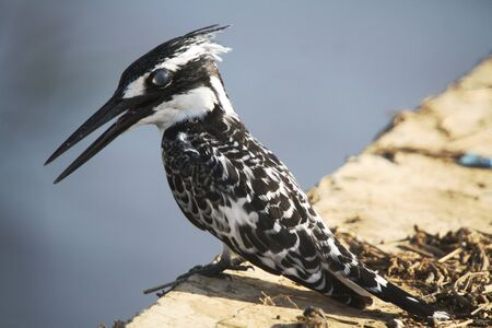 srokaty: Pied Kingfisher