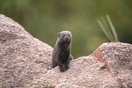 mangosta: Dwarf Mongoose Foto de archivo