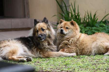 german shepard: pets