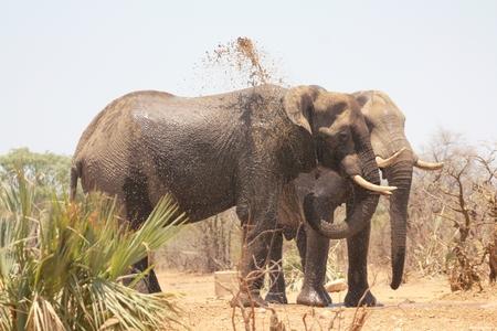 Elephant close up  Editorial