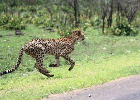 cheetah: Cheetah