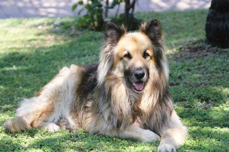 german shepard: German Shepard dog