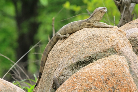 stocky: Monitoring Lizard