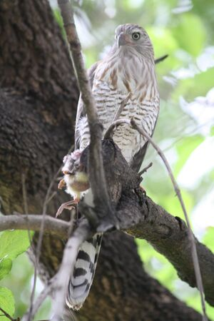 Shikra in a tree with chicken in its talons