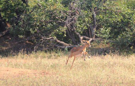 grazer: Impala