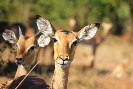 grazer: Curious Impala Stock Photo