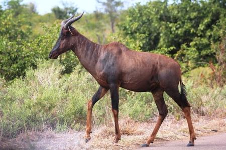 grazer: Tsessebe in Kruger National Park Stock Photo