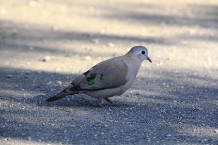 underwing: Emerald-spotted wood-dove Stock Photo