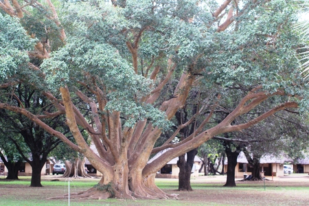 strong roots: Tree