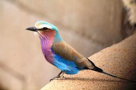 monogamous: Lilac breasted roller Stock Photo
