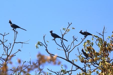 fruit eater: Grey loerie Bird