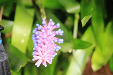 ブロメリアド花
