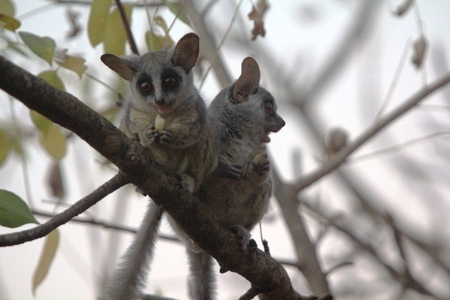 Bush-babies in a tree eating