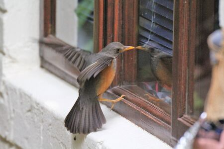 Bird seeing its own reflection in window