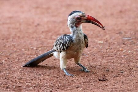 Red billed hornbill with food in its beak