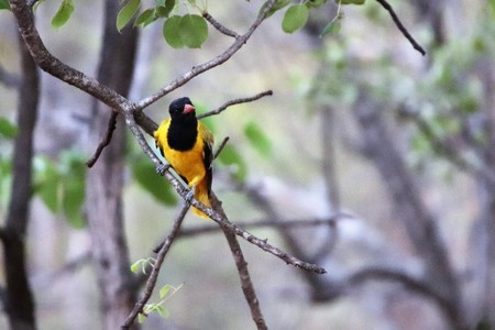 Black-hooded oriole Stock Photo