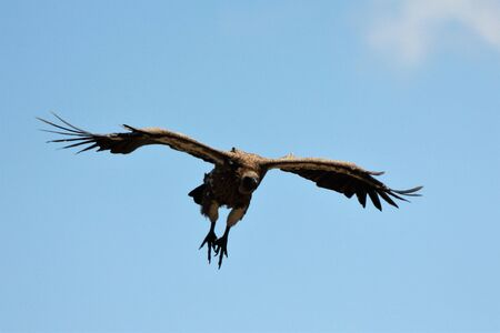 Vulture coming in for landing