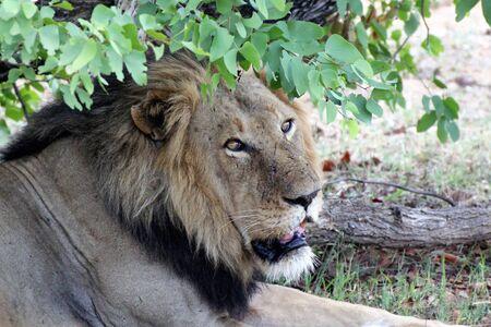 close-up of lion under shade tree