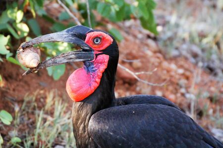 Ground Hornbill with large African snail for lunch