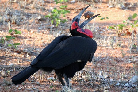 Ground Hornbill with large African Snail for lunch Stock Photo