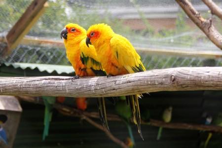 Parrot pair in aviary
