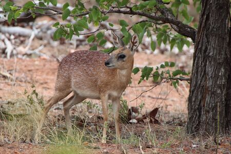 Sharpes  Grysbok in the shade of a  bush
