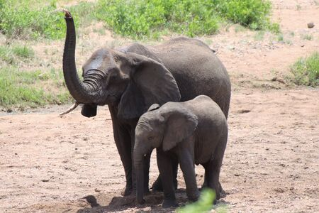 Mother and calf Elephant at water hole sniffing the air