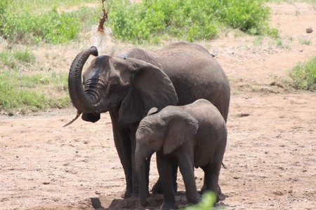Elephant throwing water over her back with calf alongside her Stock Photo