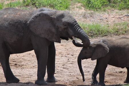 Mother and calf Elephant drinking water at dry river bed Stock Photo