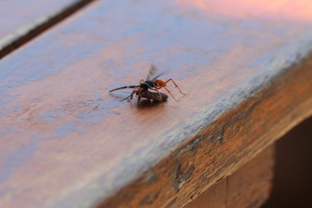 Wasp with spider for food 스톡 콘텐츠 - 95828313